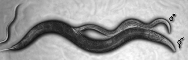 Спаривание самца и гермафродита Caenorhabditis elegans
